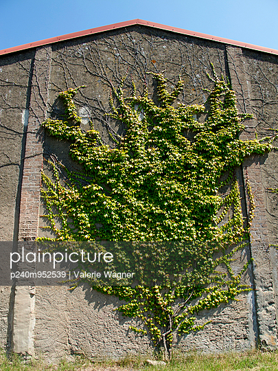 Tree-shaped virginia creeper - p240m952539 by Valerie Wagner