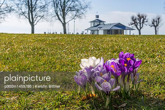 Germany, crocus flowers on a meadow