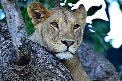 A young lion rests in a tree - p1166m2141025 by Cavan Images