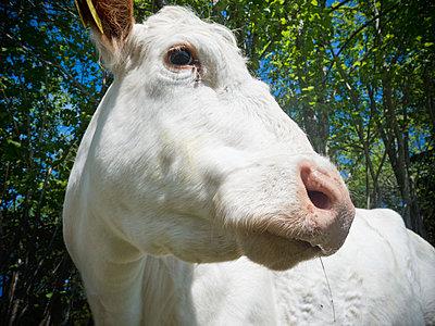 Porträt einer weißen Kuh - p1418m1571848 von Jan Håkan Dahlström