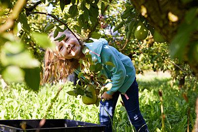 Girl harvesting organic williams pears - p300m2140979 by Sebastian Dorn
