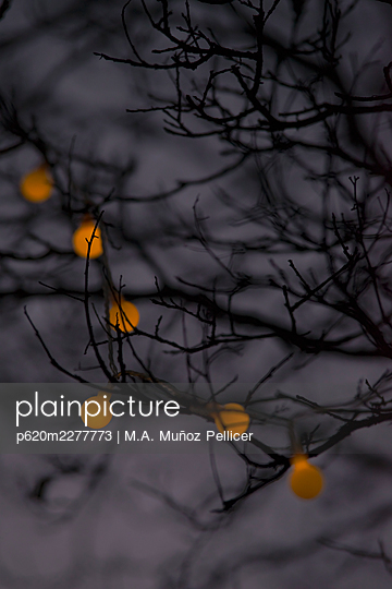 Tree branches with fairy lights at twilight - p620m2277773 by M.A. Muñoz Pellicer