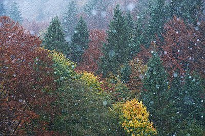 Germany, Bavaria, snowfall on forest in winter - p300m1355844 by Michael Reusse (alt)