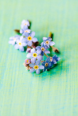 Forget Me Nots Flowers  - p1248m1573427 by miguel sobreira