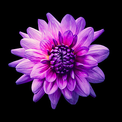 Purple dahlia close-up - p1256m2036127 by Sandra Jordan