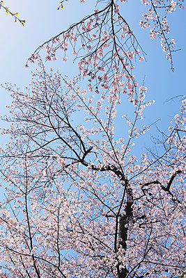 Cherry blossoms - p307m1106027f by Shingo Tosha