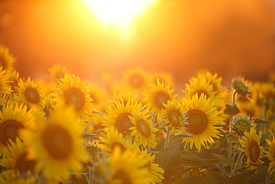 Sunflower field - p307m826814f by Tetsuya Tanooka