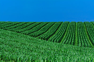 Cornfield in France - p813m925738 by B.Jaubert