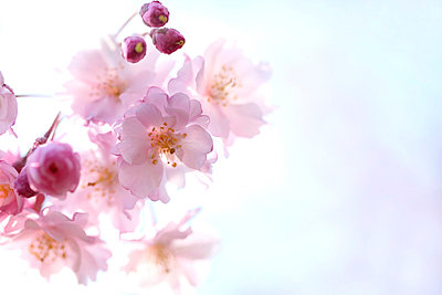 Cherry blossoms - p307m799911f by Tetsuya Tanooka/Aflo
