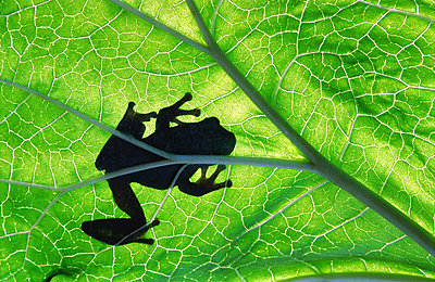 Frog on green leaf - p4424876f by Design Pics