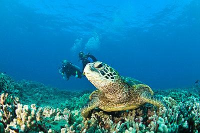 Maui Hawaii USA; Scuba divers and a Green Sea Turtle - p4428377f by Design Pics