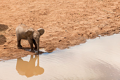 Young drinking elephant - p5330252 by Böhm Monika