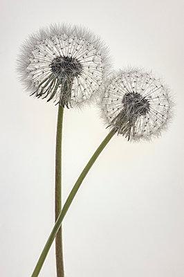 Two dandelion clocks - p971m2093420 by Reilika Landen