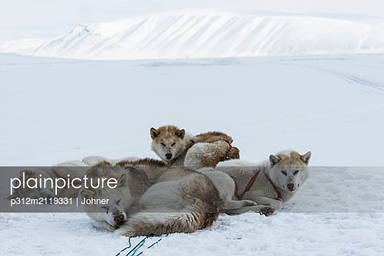 Dogs lying on snow - p312m2119331 by Johner