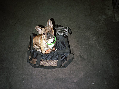 Dog in a bag - p1177m1055050 by Philip Frowein