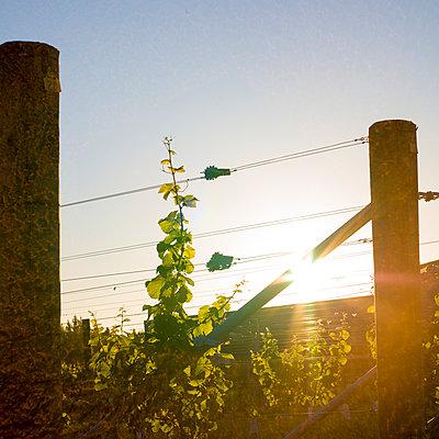 Weinbau, Neuseeland - p1201m1050069 von Paul Abbitt