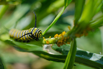 Portugal, Madeira, Caterpillar, Monarch butterfly - p1600m2175639 by Ole Spata