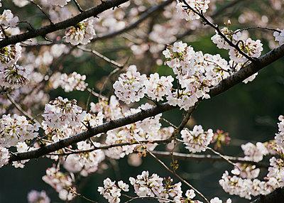 Close up pink cherry blossom tree in bloom - p301m2101288 by Halfdark