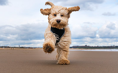 A cockapoo running towards the camera on a beach; South Shields, Tyne and Wear, England - p442m1180010 by John Short