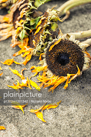 Dead and partly dried sunflowers lying on the ground with their petals falling off