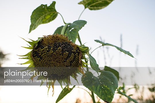 plainpicture - plainpicture p924m2003792 - Drooping sunflower seedhead... - plainpicture/Image Source/Viara Mileva