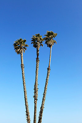 Three palm trees - p0452777 by Jasmin Sander