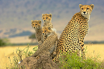 Cheetah with cubs on termite mound - p884m862990 by Winfried Wisniewski