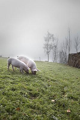 Schweine auf dem Feld - p1134m949230 von Pia Grimbühler