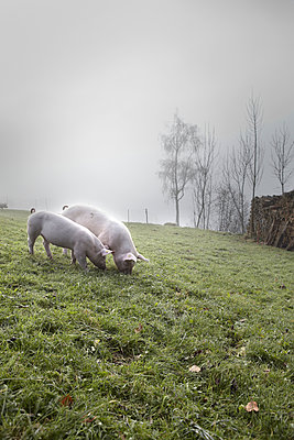Pigs - p1134m949230 by Pia Grimbühler