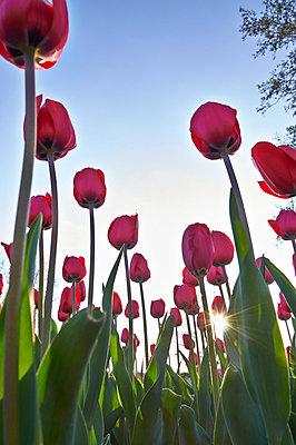 Tulips - p851m865111 by Lohfink