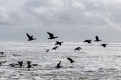 Ringelgänse an der Küste - p910m1159385 von Philippe Lesprit
