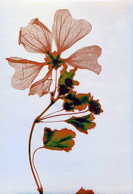Gepresste Blumen - p945m2278192 von aurelia frey