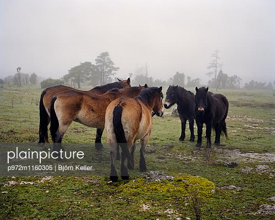Pferde grasen auf der Weide - p972m1160305 von Björn Keller
