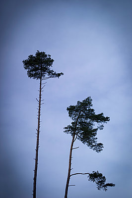 Tall pines against cloudy sky - p552m1564908 by Leander Hopf