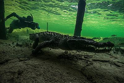 Underwater photographer chasing american croc (Crocodylus acutus) on seabed at Chinchorro Banks, Mexico - p924m1174887 by Rodrigo Friscione