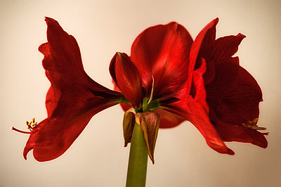 Amaryllis plant with four red flowers in bloom - p1047m1564519 by Sally Mundy