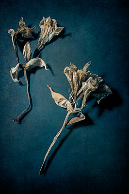 Pale dried amaryllis flower heads on blue background - p1047m2195532 by Sally Mundy