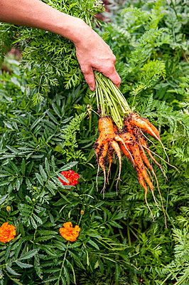 Hand of gardener holding bunch of freshly dug carrots, Halifax, NovaÂ_Scotia, Canada - p343m2025965 by Joseph De Sciose