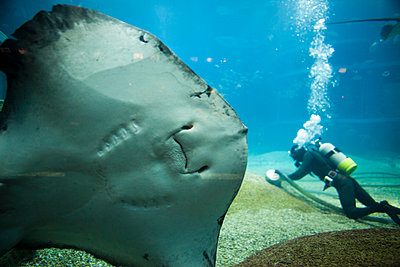 Underside of Large Stingray with Diver in Background - p669m806353 by Kelly Davidson