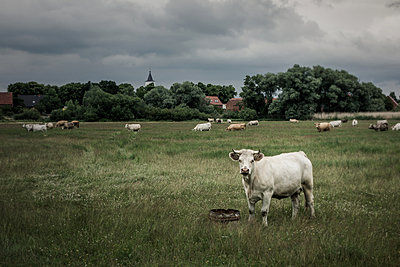 Cattle in the meadow - p354m1043364 by Andreas Süss