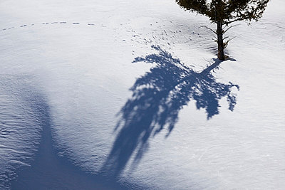 Tree shadows and animal prints in the snow; wyoming united states of america - p442m719200f by Susan Dykstra