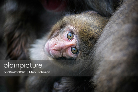 Portrait of young Japanese macaque - p300m2080926 by Mark Johnson