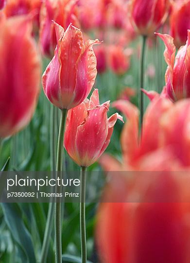 Field of tulips - p7350092 by Thomas Prinz