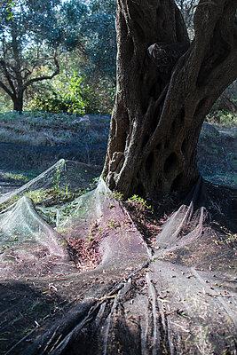 Olivenernte - p1486m2076080 von LUXart
