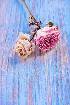 Getrocknete Rosenblüten - p533m1068397 von Böhm Monika