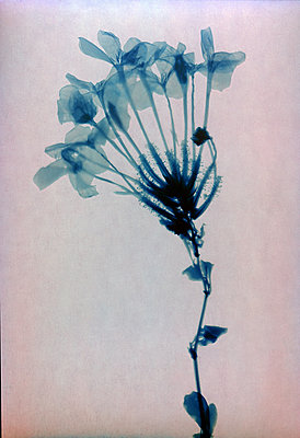 Dried flower - p945m2279002 by aurelia frey