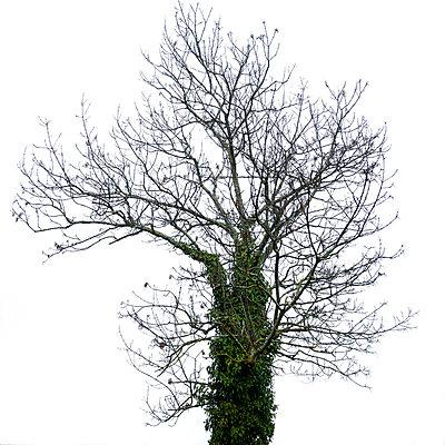 Bare tree - p813m755707 by B.Jaubert
