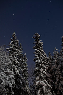 Snow-covered Trees In The Forest At Night - p847m888777 by Bildhuset