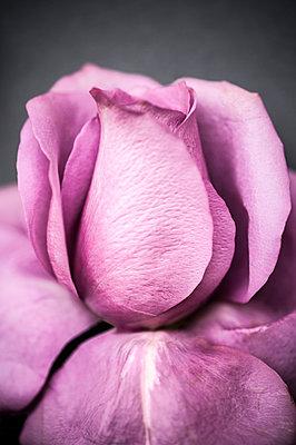 Rose - p971m1463569 by Reilika Landen