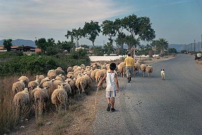Ein Schäfer und sein Sohn treiben ihre Schafe entlang einer Teerstraße durch ein Dorf - p1400m1475086 von Bastian Fischer